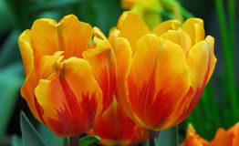 Red Yellow tulip flower Stock Image