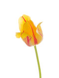 Red-yellow tulip flower Stock Photo