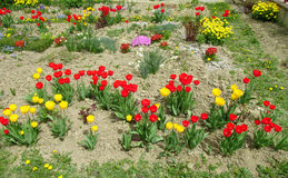 Red and yellow tulip flower garden. Beautiful flowers in blossom. Flower garden in the countryside Royalty Free Stock Image