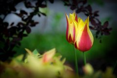 Red and yellow tulip flower in a spring garden. Red and yellow tulip flower in a spring garden Royalty Free Stock Image