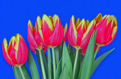 Red and yellow tulip flowers Stock Images