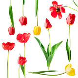 Red and yellow tulip flowers set Stock Photos