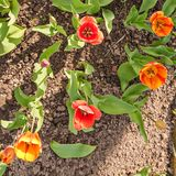 Tulip flowers on spring flowerbed. Royalty Free Stock Images