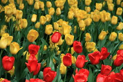 Red and yellow tulip flowers in Zhongshan Park. A pile of red and yellow tulips are in full bloom in Zhongshan Park Royalty Free Stock Photography