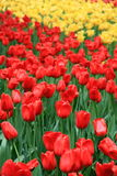 Red and yellow tulip flowers in Zhongshan Park. A pile of red and yellow tulips are in full bloom in Zhongshan Park Stock Photography