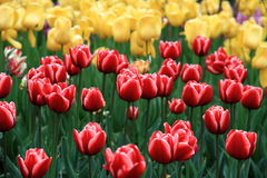 Red and yellow tulip flowers in Zhongshan Park. A red and yellow  tulips are in full bloom in Zhongshan Park Royalty Free Stock Image