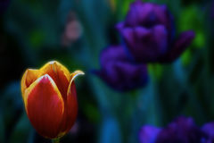 Red and yellow tulip highlighted in bloom. Beautiful red tulip with yellow highlighting offset by pastels, in purple, green and blue royalty free stock images