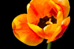 Red and yellow tulip isolated on black Stock Photos