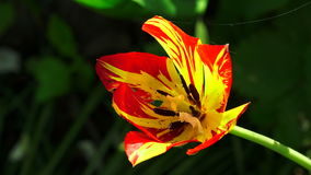 Red and yellow Tulip. 4K. Red and yellow Tulip. Shot in 4K ultra-high definition UHD, so you can easily crop, rotate and zoom, without losing quality!  Real stock video
