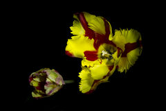 Red yellow tulip with black background 1 Stock Photo
