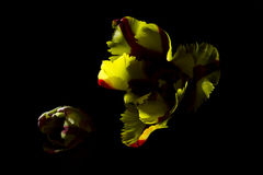 Red yellow tulip with black background 2 Stock Image
