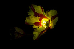 Red yellow tulip with black background 3 Stock Image