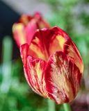 Red And Yellow Tulip Perennial Flowers. Gorgeous red and yellow tulip perennial flowers. Delicate and pretty springtime flowers Stock Photos