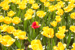 Red and yellow tulip surrounded by yellow tulips. A bank of yellow tulips with a single red and yellow tulip in the centre stock image