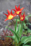 Red yellow tulip royalty free stock images