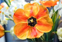 Red-Yellow tulip wide open Stock Photo