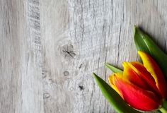 Red and yellow tulip on wooden background. Perfect invitation for mother`s day or international women`s day. Minimalist bright stock image
