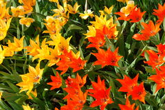 Red and yellow tulips. Natural backgrounds: red and yellow tulips Royalty Free Stock Images