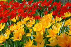 Red and yellow tulips. Natural backgrounds: red and yellow tulips Stock Image