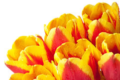 Red and yellow tulips. Royalty Free Stock Photos