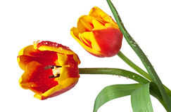 Red and yellow tulips Stock Photos