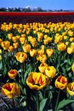 Red yellow tulips. Red and tulips field in the Netherlands royalty free stock photo