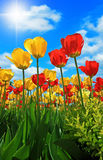 Red and Yellow Tulips. On a sunny day Royalty Free Stock Images