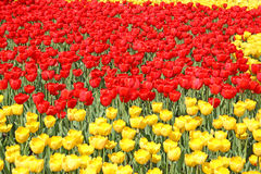 Red and yellow tulips. Many of bright red and yellow tulips on a sunny spring day Stock Photography