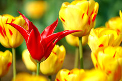 Red and yellow tulips. Single red tulip amongst yellow tulips Royalty Free Stock Photography