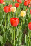 Red and yellow tulips. Spring field of red and yellow tulips stock photo
