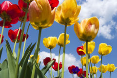 Red and yellow tulips. With sunny sky in background Stock Photos