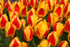 Red-Yellow Tulips. Field of Red-Yellow Tulips Royalty Free Stock Photos