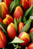 Red and yellow tulips. Many red  and yellow tulips Royalty Free Stock Photos