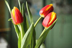 Red yellow tulips Stock Photo