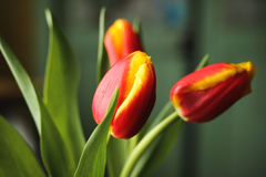 Red yellow tulips Stock Image