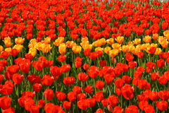 Red and yellow tulips on a bed. Stock Images