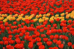 Red and yellow tulips on a bed. Royalty Free Stock Images