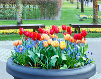 Red-yellow tulips in big flowerpot. Stock Photography