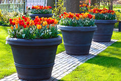 Red-yellow tulips in big flowerpots in spring park. Royalty Free Stock Image