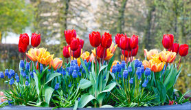 Red-yellow tulips in big flowerpots in spring park. Stock Photography