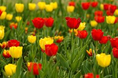Red and yellow tulips in bloom. Field of red and yellow tulip flowers in bloom Stock Photo