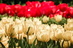 Red and Yellow Tulips in Bloom Stock Photo