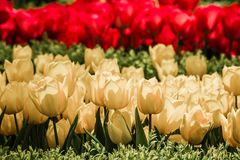 Red and Yellow Tulips in Bloom Royalty Free Stock Photo