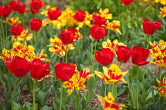 Red and Yellow Tulips Royalty Free Stock Image