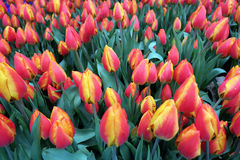 Red yellow tulips blossom in springtime. full frame Stock Photo