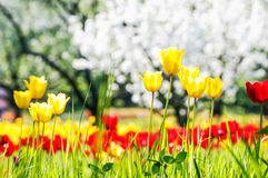 Red and yellow tulips and blossoming fruit trees Royalty Free Stock Photography