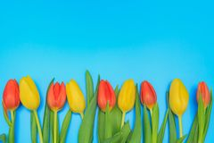 Red and yellow tulips on blue pastel background. Fresh red and yellow tulips on blue pastel background Royalty Free Stock Photo