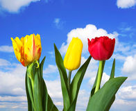 Red, yellow tulips, blue sky Royalty Free Stock Photos