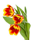 Red-yellow tulips bouquet Royalty Free Stock Photo