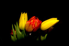 Red and yellow tulips stock image
